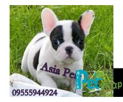 French Bulldog puppy price in patna, French Bulldog puppy for sale in patna
