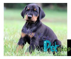 Doberman puppy price in Pune, Doberman puppy for sale in Pune