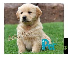 Golden Retriever Puppy For Sale Golden Retriever Price In India Pune