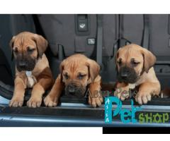 Great dane puppy price in Pune, Great dane puppy for sale in Pune