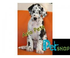 Harlequin great dane puppy price in Pune, Harlequin great dane puppy for sale in Pune