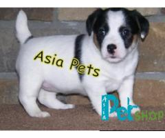Jack russell terrier puppy price in Pune, jack russell terrier puppy for sale in Pune