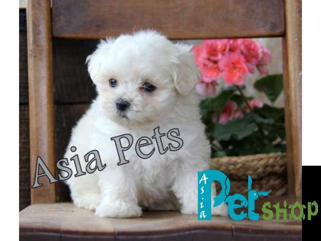 Maltese puppy price in patna, Maltese puppy for sale in patna