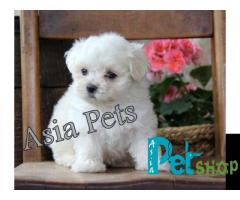 Maltese puppy price in patna, Maltese puppy for sale in patna