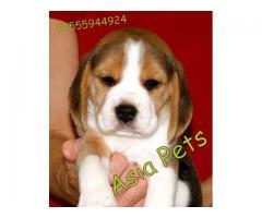Beagle puppies  price in goa ,Beagle puppies  for sale in goa
