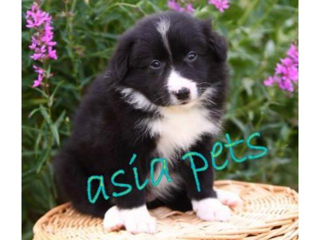 Collie puppies  price in goa ,Collie puppies  for sale in goa