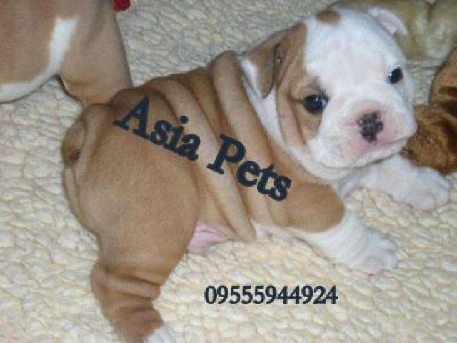 Bulldog pups price in agra,Bulldog pups for sale in agra