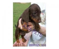 Dachshund pups price in agra,Dachshund pups for sale in agra