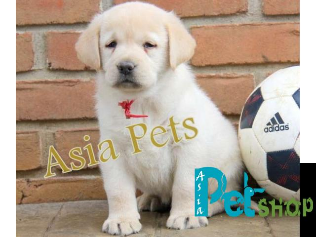 Labrador Puppy Price In Pune Labrador Puppy For Sale In Pune
