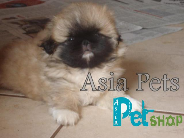 Pekingese puppy price in patna, Pekingese puppy for sale in patna