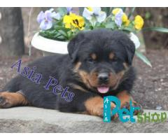 Rottweiler puppy price in patna, Rottweiler puppy for sale in patna
