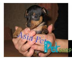 Miniature pinscher puppy price in Pune, Miniature pinscher puppy for sale in Pune
