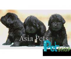 Newfoundland puppy price in Pune, Newfoundland puppy for sale in Pune