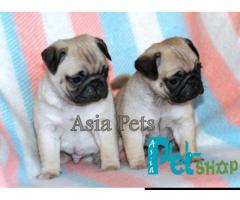 Pug puppy price in Pune, Pug puppy for sale in Pune