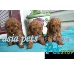 Poodle puppy price in Pune, Poodle puppy for sale in Pune
