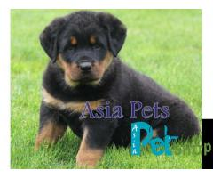 Rottweiler puppy price in Pune, Rottweiler puppy for sale in Pune
