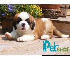 Saint bernard puppy price in Pune, Saint bernard puppy for sale in Pune