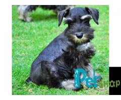 Schnauzer puppy price in patna, Schnauzer puppy for sale in patna