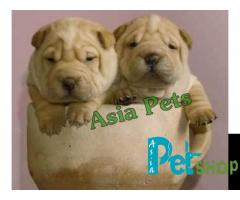 Shar pei puppy price in patna, Shar pei puppy for sale in patna