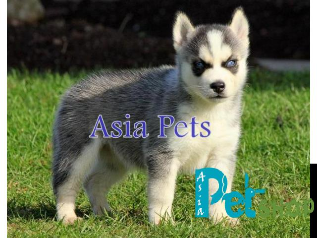 Siberian husky puppy price in patna, Siberian husky puppy for sale in patna