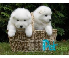 Samoyed puppy price in Pune, Samoyed puppy for sale in Pune