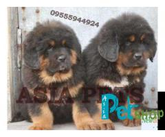Tibetan mastiff puppy price in patna, Tibetan mastiff puppy for sale in patna