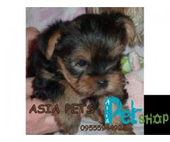 Yorkshire terrier puppy price in patna, Yorkshire terrier puppy for sale in patna