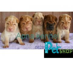 Shar pei puppy price in Pune, Shar pei puppy for sale in Pune