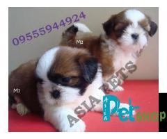 Shih tzu puppy price in Pune, Shih tzu puppy for sale in Pune