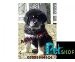 Tibetan mastiff puppy price in Pune, Tibetan mastiff puppy for sale in Pune