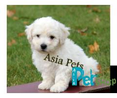 Bichon frise puppy price in Rajkot, Bichon frise puppy for sale in Rajkot