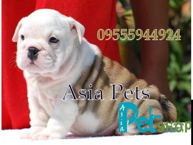 Bulldog puppy price in Rajkot, Bulldog puppy for sale in Rajkot