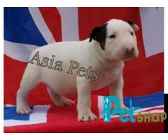 Bullterrier puppy price in Rajkot, Bullterrier puppy for sale in Rajkot