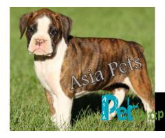 Boxer puppy price in Rajkot, Boxer puppy for sale in Rajkot