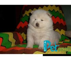 Chow chow puppy price in Rajkot, Chow chow puppy for sale in Rajkot