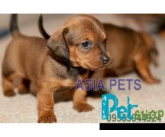 Dachshund puppy price in Rajkot, Dachshund puppy for sale in Rajkot
