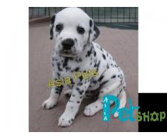 Dalmatian puppy price in Rajkot, Dalmatian puppy for sale in Rajkot