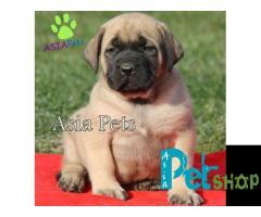 English Mastiff puppy price in Rajkot, English Mastiff puppy for sale in Rajkot