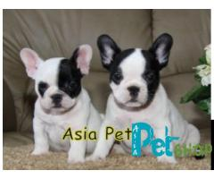 French Bulldog puppy price in Rajkot, French Bulldog puppy for sale in Rajkot