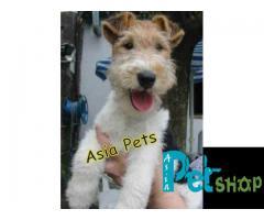 Fox Terrier puppy price in Rajkot, Fox Terrier puppy for sale in Rajkot