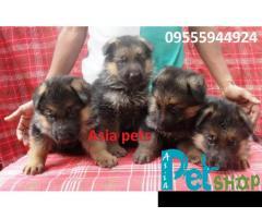 German Shepherd puppy price in Rajkot, German Shepherd puppy for sale in Rajkot