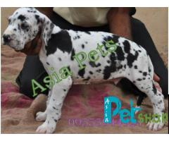 Harlequin great dane puppy price in Rajkot, Harlequin great dane puppy for sale in Rajkot