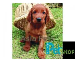 Irish setter puppy price in Rajkot, Irish setter puppy for sale in Rajkot