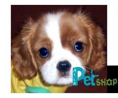 King charles spaniel puppy price in Rajkot, King charles spaniel puppy for sale in Rajkot