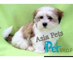 Lhasa apso puppy price in Rajkot, Lhasa apso puppy for sale in Rajkot