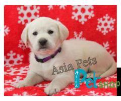 Labrador puppy price in Rajkot, Labrador puppy for sale in Rajkot