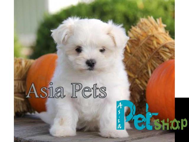 Maltese puppy price in Rajkot, Maltese puppy for sale in Rajkot