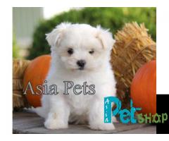 Maltese puppy price in Rajkot, Maltese puppy for sale in Rajkot