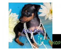 Miniature pinscher puppy price in Rajkot, Miniature pinscher puppy for sale in Rajkot
