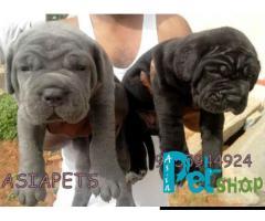 Neapolitan mastiff puppy price in Rajkot, Neapolitan mastiff puppy for sale in Rajkot